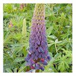 SANHOC Las Semillas del Paquete: Lupin 'Galería' / Lupinus polyphyllus...